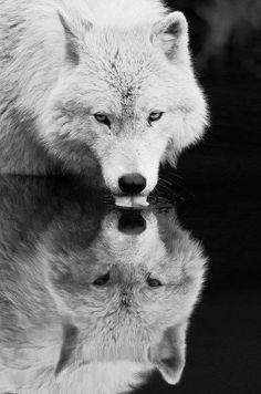 A pretty wolf.