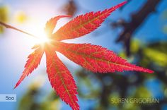 Japanese Maple by No Smoking on 500px