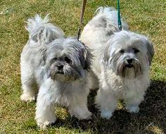 lhasa apsos <3 mooshoo was the best dog ever, and i wouldnt mind getting another one.