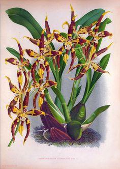 Oncidium x mulus syn Odontoglossum by PanchromaticaDesigns on Etsy