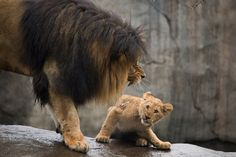 Lion cubs meet dad first time. Lion cub cowers at roar of its dad at Oregon Zoo; photo by Shervin Hess/Caters News Agency