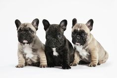 French Bulldog - Breed Information, Photos, and Facts