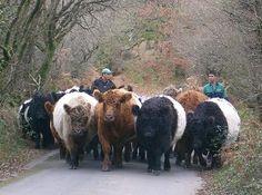 Black, Dun & Red Belted Galloways at Bittleford Farm, Devon