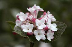 Cornus sericea 39 flaviramea 39 gullkornell new garden 2015 for Indoor gardening diana yakeley