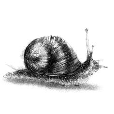 Snails In Garden, Garden Snail, Fine Art Drawing, Art Drawings, Sketch A Day, Animal Sketches, Surface Design, How To Draw Hands, Artsy