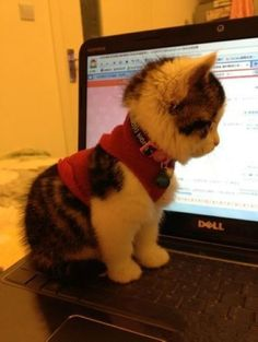i think i just died... this is so adorable! hehehe! a fluffy kitten in a sweater-thingy!!! This is adorable