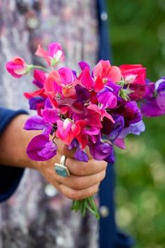Love the colours of this Harlequin Sweet Pea Plants Collection by Sarah Raven - including Lord Nelson,. Prince Edward & Matucana Sweet Peas