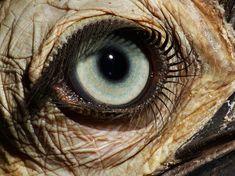 """An Exquisite Eye"" ~By David Liittschwager.  Vertebrate eye of a juvenile female southern ground-hornbill (Bucorvus leadbeateri)"