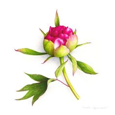 Peony button - VINCENT JEANNEROT. Botanical watercolor Watercolor, Art Prints, Crafty, Lotus, Painted Flowers, Pigment Ink, Botanical Art, Bouquets, Contemporary