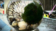 Giant marimo in the rocky river// living giant marimo in aquatic terrarium//large terrarium// home decor