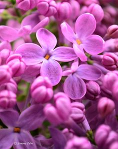 #lilacflower Lilac Flowers, Beautiful Gardens, How To Look Better, Delicate, Colours, Prayer, Plants, Inspiration, Beauty