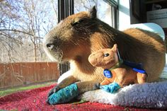 They love stuffed animals of themselves. | After Looking At These Photos You Will DEFINITELY Want A Capybara