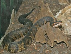 snakes in mississippi   Cottonmouth Water Moccasin (Agkistrodon piscivorus)