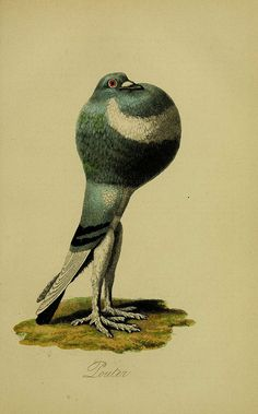 A treatise on the art of breeding and managing tame, domesticated, foreign, and fancy pigeons London,The Medical Illustration, Nature Illustration, Botanical Illustration, Pet Pigeon, Dove Pigeon, Audubon Birds, Nature Prints, Zoology, Wildlife Art