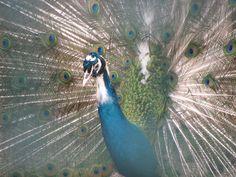 Peacocks <3