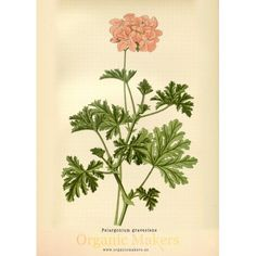 Geranium Essential Oil has a delightful, floral aroma with complementary hints of mint and citrus. This wonderful, versatile essential oil has many uses. Botanical Drawings, Botanical Illustration, Botanical Prints, Geranium Essential Oil, Essential Oils For Skin, Geranium Tattoo, Parts Of A Plant, Perfume Oils, Geraniums