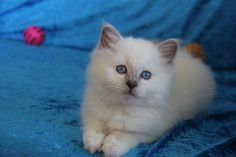 Sacred Birman Kitten | Cattery Kedi Saray Van | The Netherlands