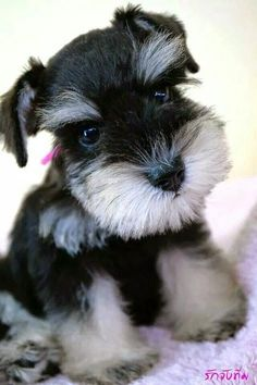 Maybe you've just adopted a Schnauzer into your family and don't know what to call them yet. If you're looking for the best name for a Schnauzer dog, you've come to the right place! Here are 30 of the best sweet names for Schnauzer dogs! Miniature Schnauzer Puppies, Schnauzer Puppy, Schnauzers, Beautiful Dogs, Animals Beautiful, Best Hypoallergenic Dogs, Cute Puppies, Dogs And Puppies, Puppies Tips