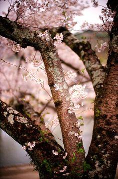 #morikei, #blossoms