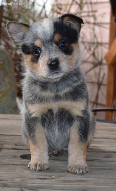 Blue Heeler puppy -- Australian Cattle Dog