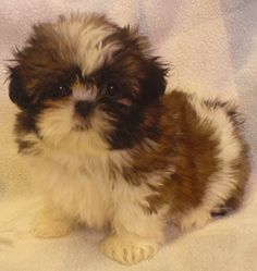 miniature shih tzu mini shih tzu......how lovely