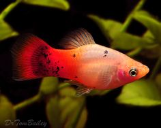 pink platy fish - Google Search