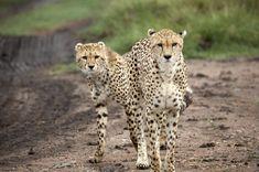 Masai Mara Safari in Kenya via @travel2net