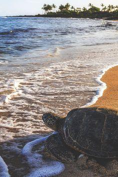 15 ideas for nature photography beach swim Baby Sea Turtles, Cute Turtles, Tierischer Humor, Animals And Pets, Cute Animals, Turtle Love, Turtle Bay, Tortoises, Ocean Life