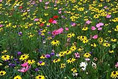 Establishing a Wildflower Meadow.  Gardening Articles :: Landscaping :: Lawns, Ground Cover, & Wildflowers :: National Gardening Association