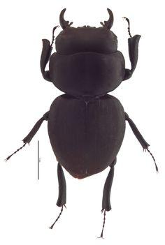 <em>Apterocyclus honoluluensis</em> male; photo by E.L. Engasser