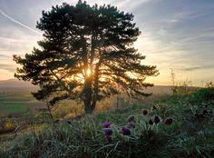 Coucher de soleil sur les anémones pulsatilles