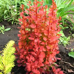 Berberis thunbergi 'Orange Rocket'. Zon 5.