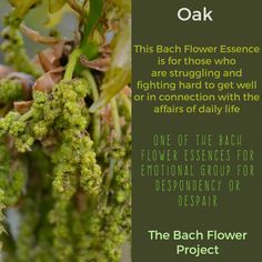 Bach Flower Remedy OAK