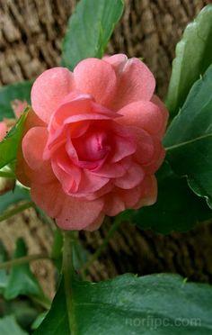 Flor de madama