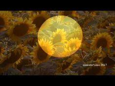 Piceno, è tempo di Girasoli- Sunflowers  in My Homeland (manortiz)