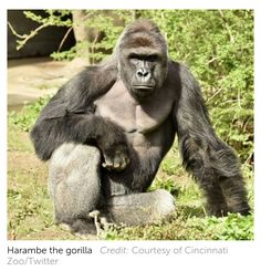 Silvered Haired Gorilla Keral In Search Of Answers 4 1
