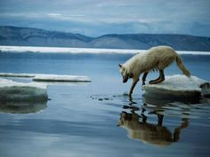 """alittledirtneverhurt: """"Arctic Wolf Photograph by Jim Brandenburg In Canada's northernmost reaches, an arctic wolf gingerly tests the water near Ellesmere Island. As polar exploration heated up in the. Arktischer Wolf, Wolf Love, National Geographic Photography, Wildlife Photography, Wolf Photography, Beautiful Creatures, Animals Beautiful, Beautiful Wolves, Adorable Animals"""
