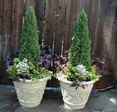 The Dwarf Alberta Spruce tree works almost anywhere in the landscape. Perfect in containers. Buy your Alberta Spruce online today. Deer resistant and low maintenance. Shop our garden center for doorstep delivery! Outdoor Planters, Flower Planters, Flower Pots, Container Gardening Vegetables, Container Plants, Dwarf Alberta Spruce, Growing Tomatoes In Containers, Grow Tomatoes, Growing Vegetables