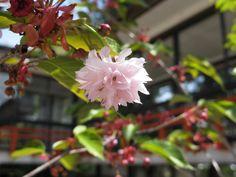 【境内の様子】平成21年5月10日、渡り廊下脇の稚児桜です。
