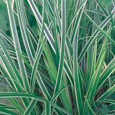 Proven Winners - Ice Dance - Sedge - Carex morrowii plant details, information and resources. Butterfly Plants, Coral Bells, Proven Winners, Garden Deco, Roof Top, Plant Needs, Types Of Plants