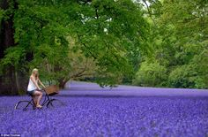 Serene carpet of bluebells in Cornwall photographed by Mike Thomas via Daily Mail #flower #violet #bicycle #uk #daily_mail