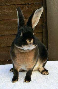 Black Otter Rex Rabbit