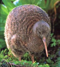 The Kiwi is the national symbol of New Zealand. Kiwi are flightless birds endemic to New Zealand, in the genus Apteryx and family Apterygidae. At around the size of a domestic chicken.