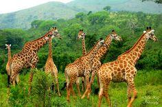 African Giraffe, Change, Animals, Animales, Animaux, Animal, Animais