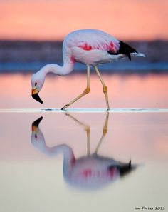 Andean Flamingo - Bing Images