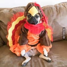 Doug the Pug is ready for thanksgiving ----- P.S. click on the image to check out our Funny Pugs T-shirt today! All sizes available in different colors.