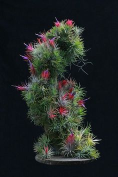 #tillandsia Wow what a nice arrangement of an air plant classic