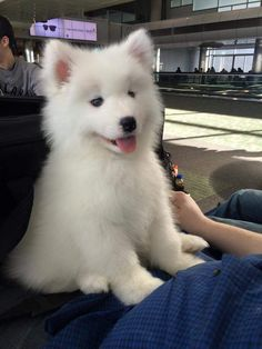 22 Samoyed Saturday Dog Samoyed Photos Who doesnt love cute fluffy dogs and are some of the cutest. Cute Baby Dogs, Cute Dogs And Puppies, I Love Dogs, Doggies, Cute Funny Animals, Cute Baby Animals, Animals And Pets, Photo Animaliere, Samoyed Dogs