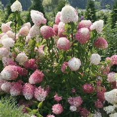 Proven Winners Zinfin Doll Hardy Hydrangea (Paniculata) Live Shrub, Pink and White Flowers, 1 Gal. Hydrangea Paniculata, Garden Shrubs, Shade Garden, Garden Plants, Hydrangea Care, Hydrangeas, Hydrangea Seeds, Proven Winners, Pink And White Flowers