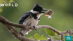 New party member! Tags: bird fish cold shake shaking wash shake it off kingfisher bbc earth natural world drying off